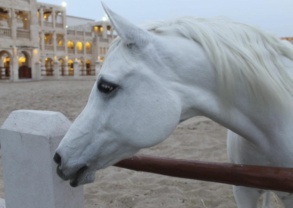 Arabian Horse, Qatar