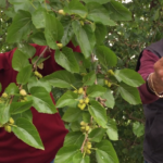 Video: in Southern Italy don't miss the mulberries
