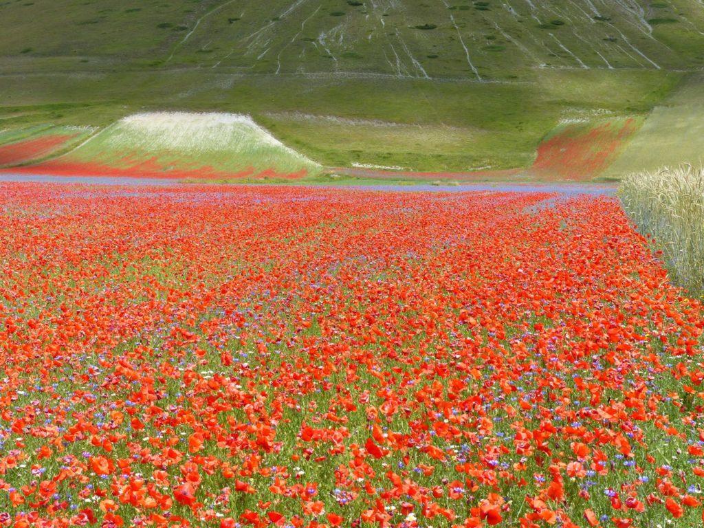 Poppies Italy